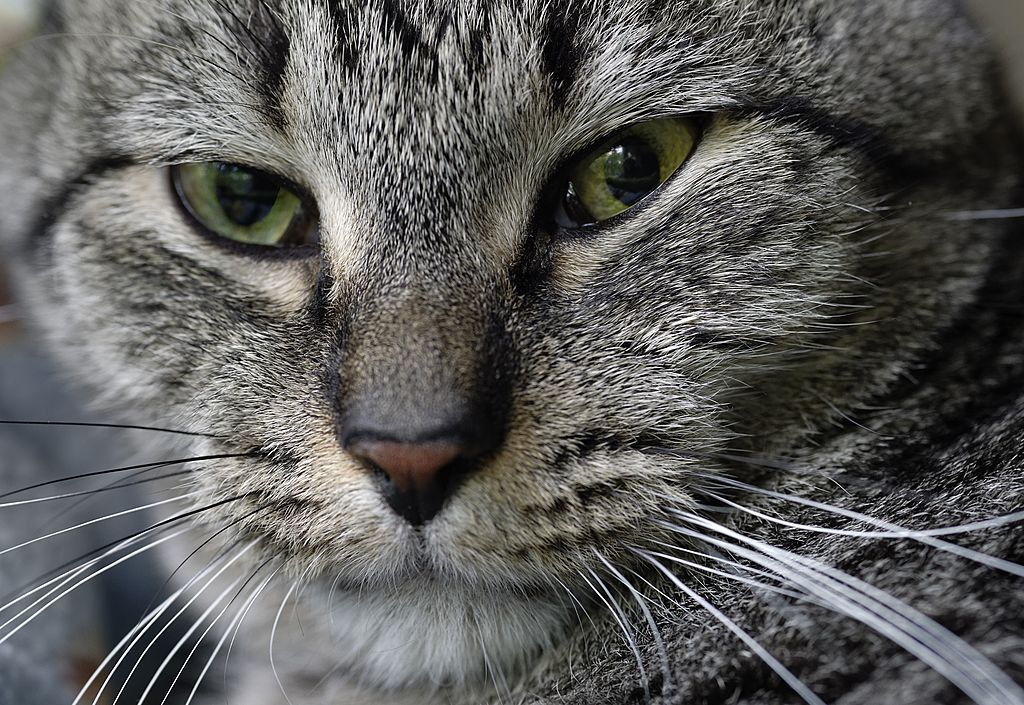 Close-up portrait of a gray tabby cat