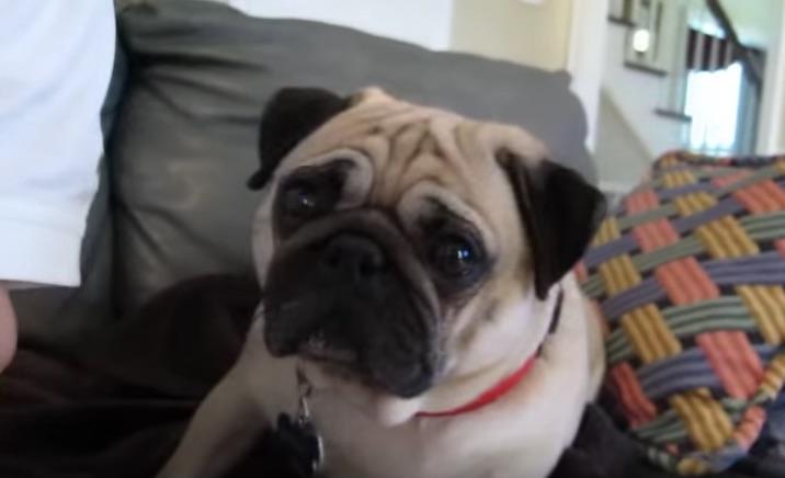 bandit-the-pug