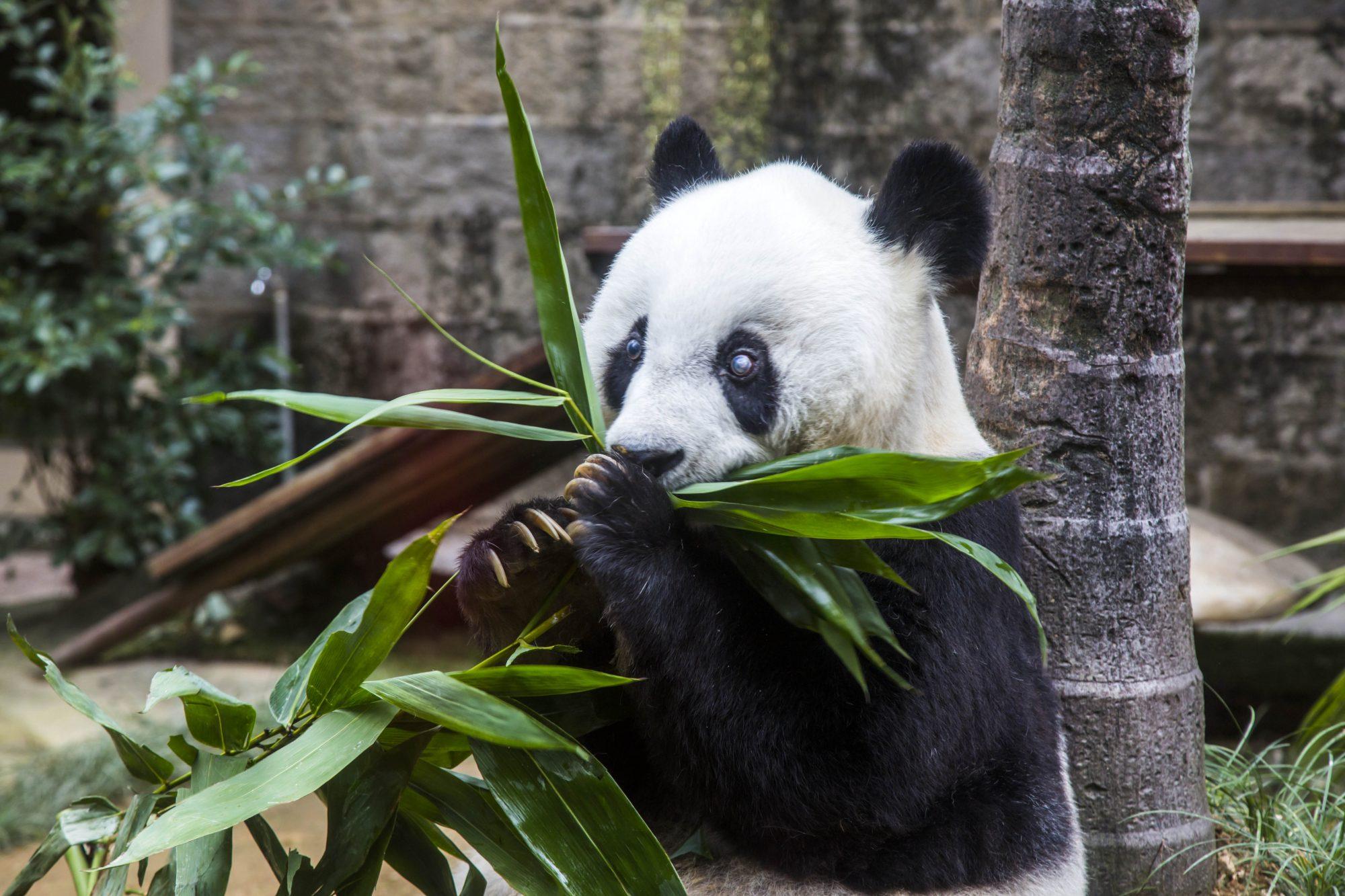 Giant Panda Basi Celebrates 35th Birthday In China