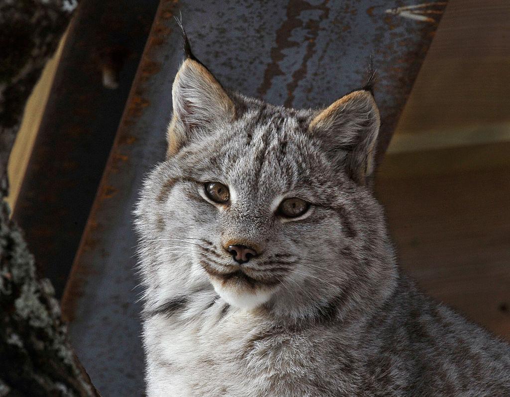 young canada lynx Maine Wildlife Park