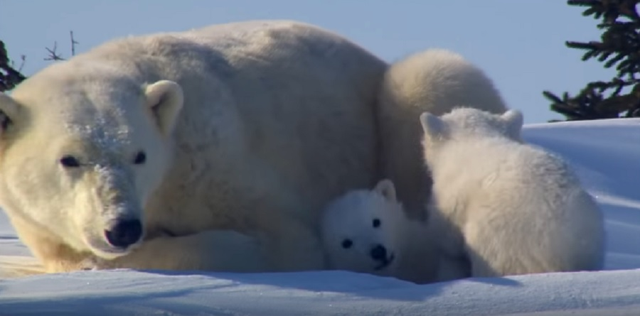 polar-bear-cubs-smithsonian-channel