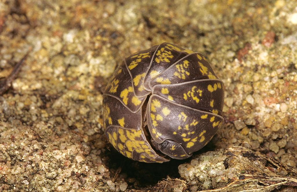 An Australian pillbug