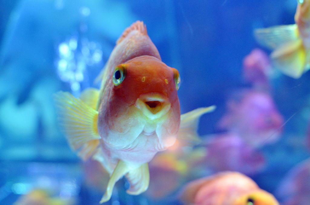 goldfish in a tank in japan