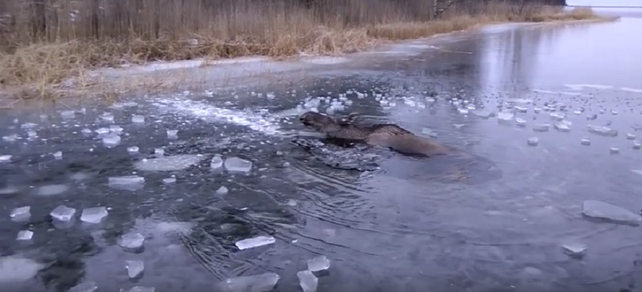 moose-trapped-in-ice