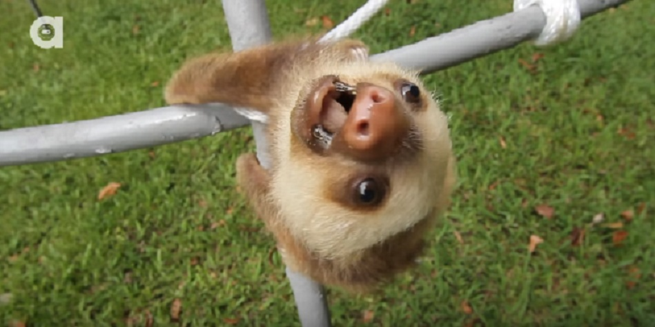 baby sloths talk