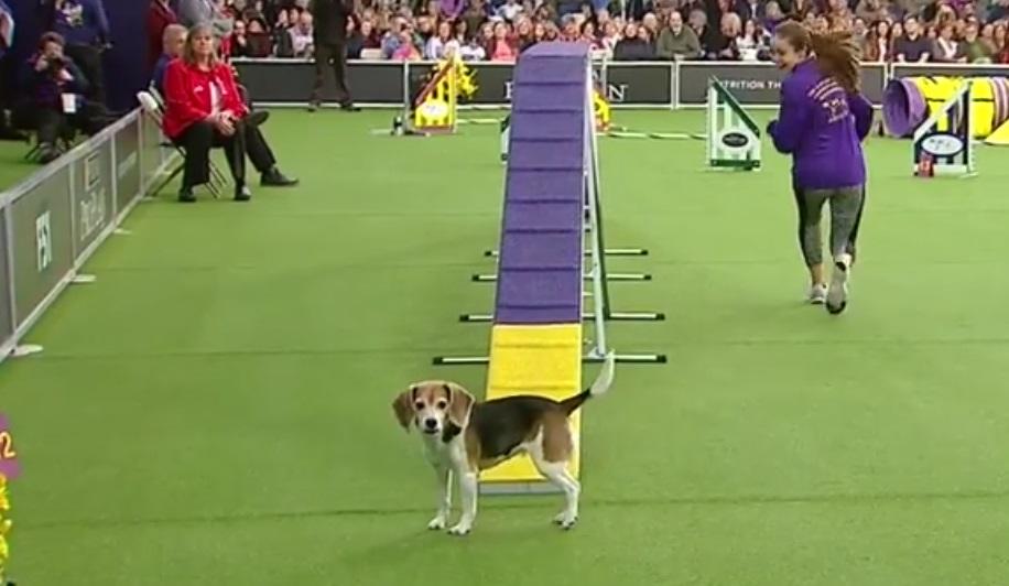 mia beagle westminster dog show