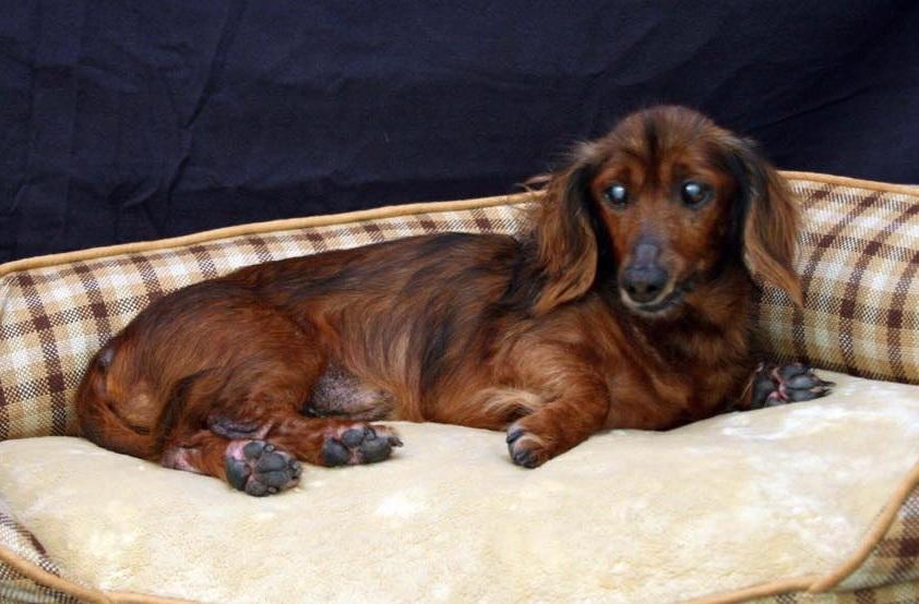 morgan-the-dachshund