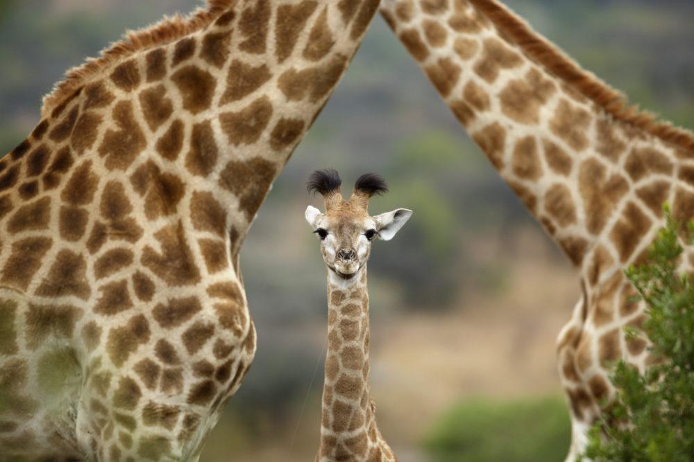 Giraffe (Giraffa camelopardalis) parents and calf, KwaZulu-Natal, South Africa