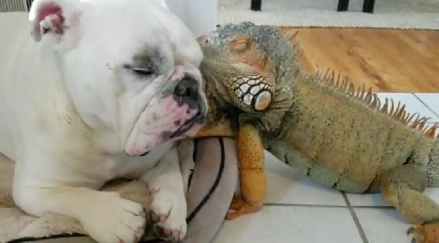 bulldog iguana friends