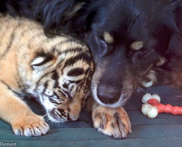 cincinnati zoo dog tiger