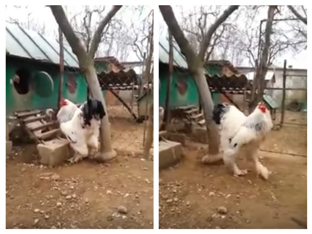 brahma rooster steps out of coop