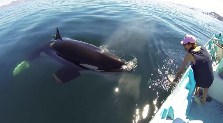 killer whale swims up to boat