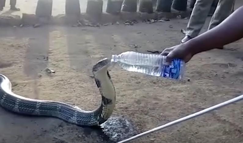 king-cobra-water.jpg