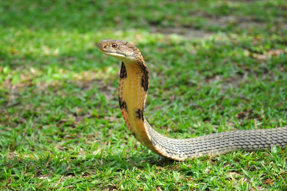 king-cobra-shutterstock