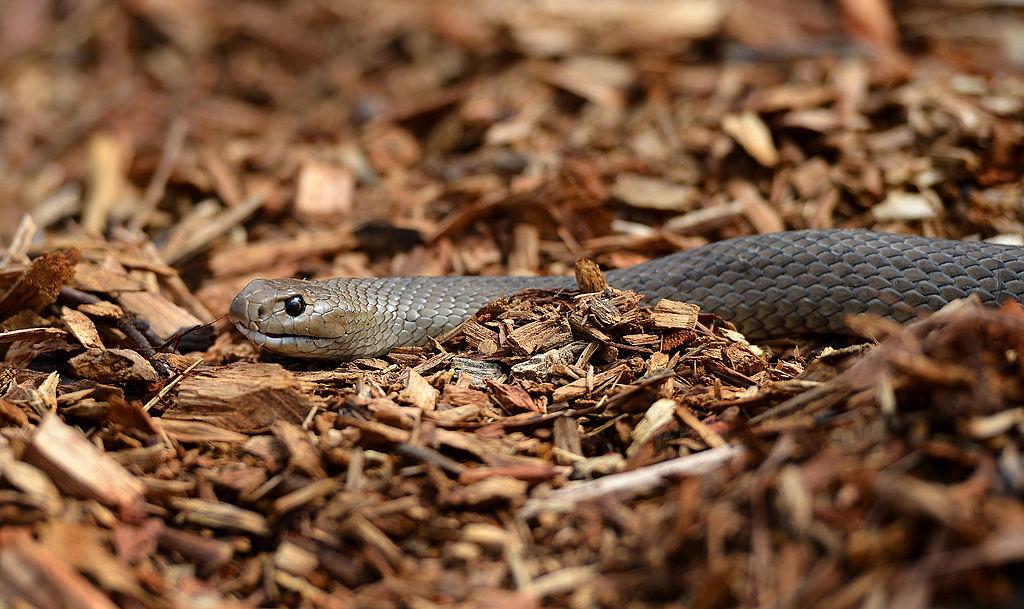 snake in brown leaves