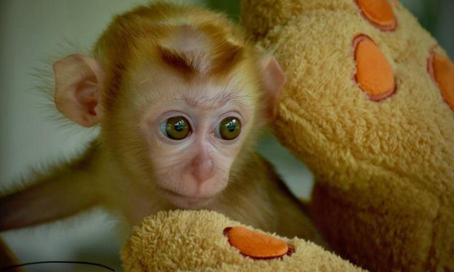 grieving baby monkey teddy bear