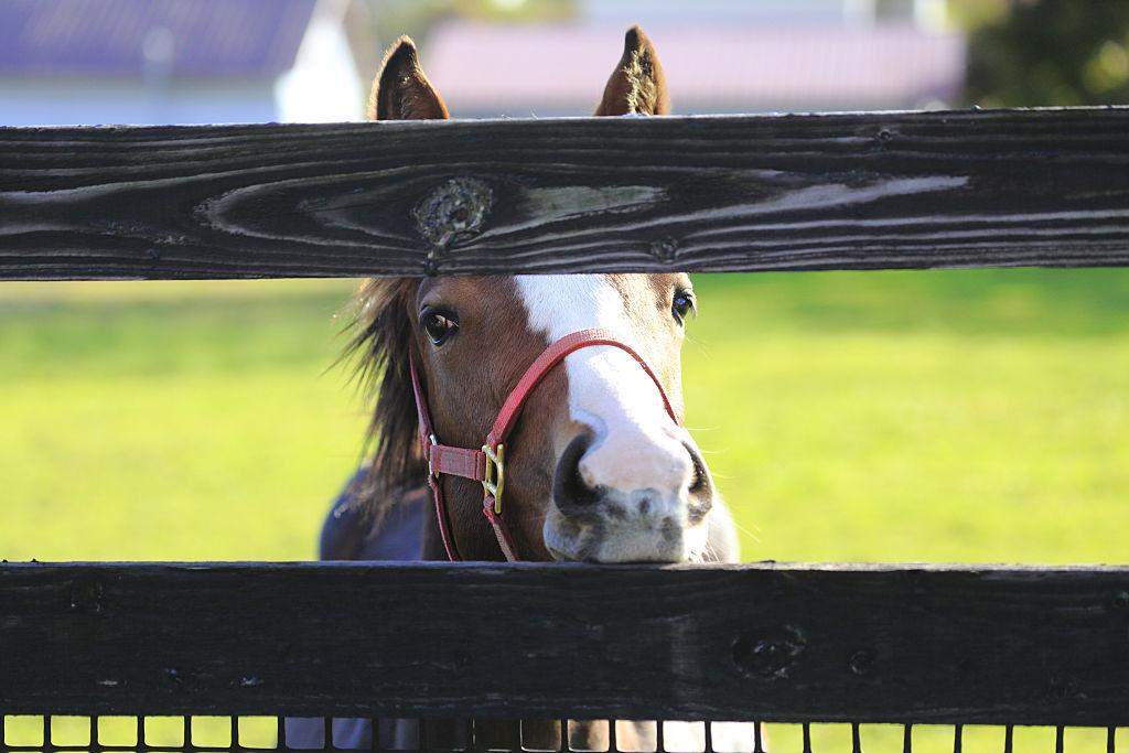 Horse peeking through fence