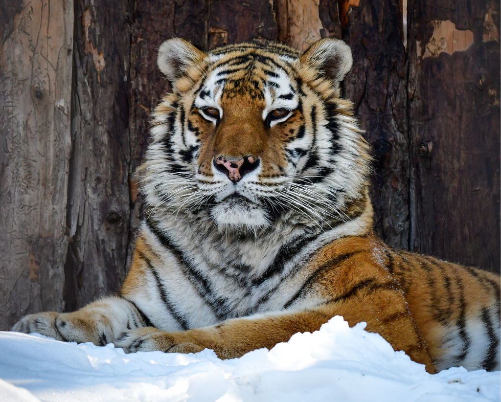 siberian tiger at Priamursky Zoo in Khabarovsk, Russia