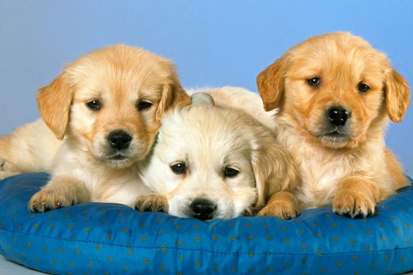 golden-puppies-pet-names
