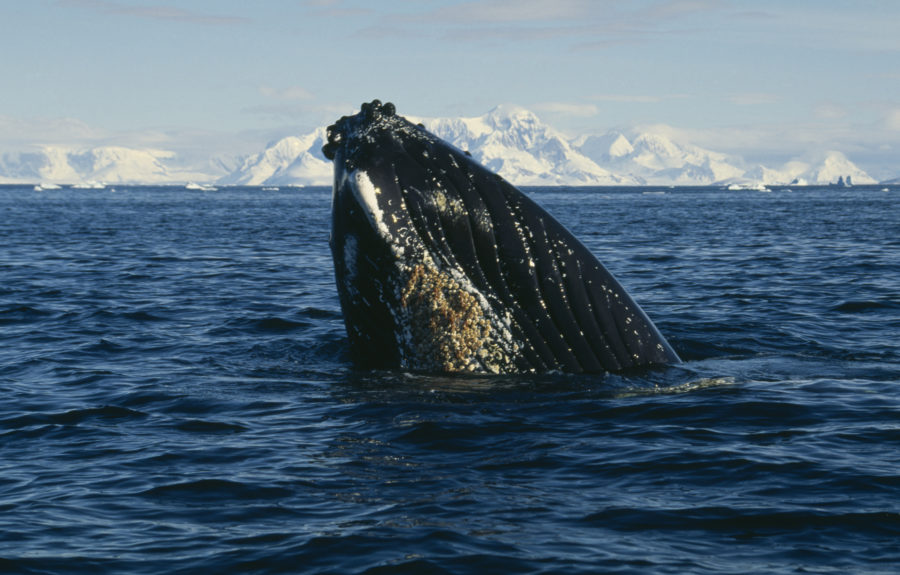 Humpback Whale surfacing in waters of Antarctica
