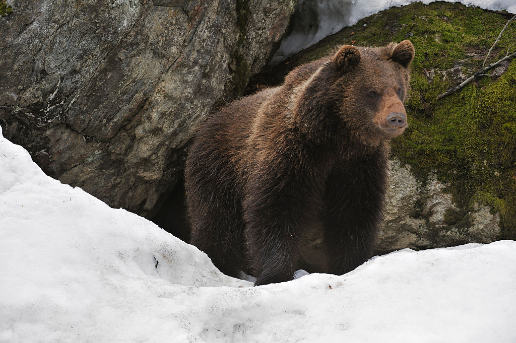 Eurasian brown bear in the snow in early spring emerging from den among rocks in woodland, Bavarian Forest National Park, Germany
