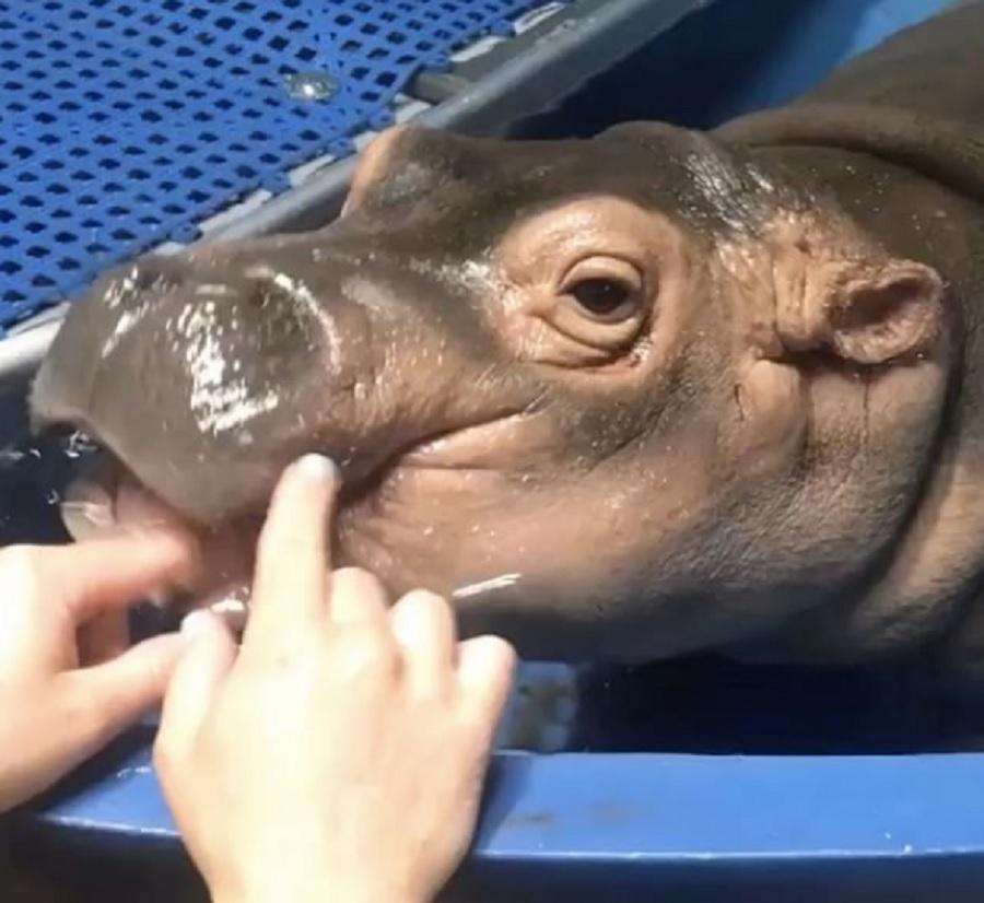 fiona baby hippo teething