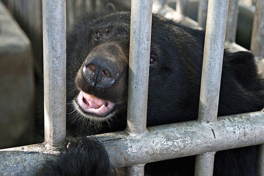 Black bear peeking through the bars