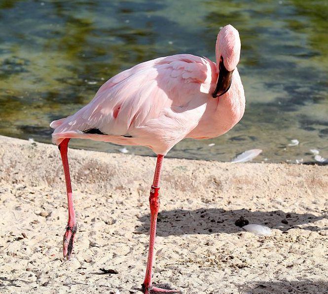 Flamingo at the Memphis Zoo