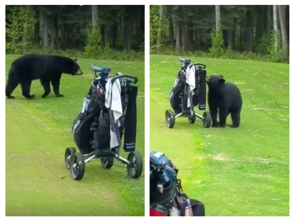 bear crashes golf game in alaska