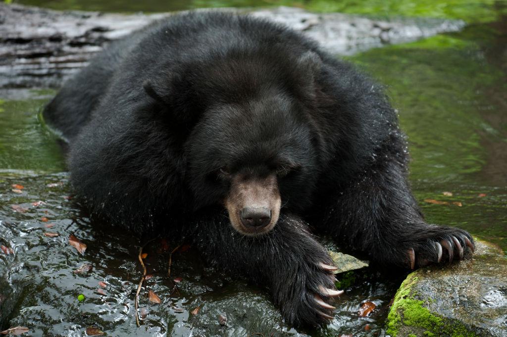 black bear at zoo