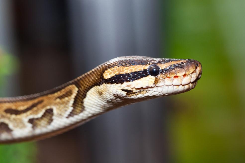 python-snake