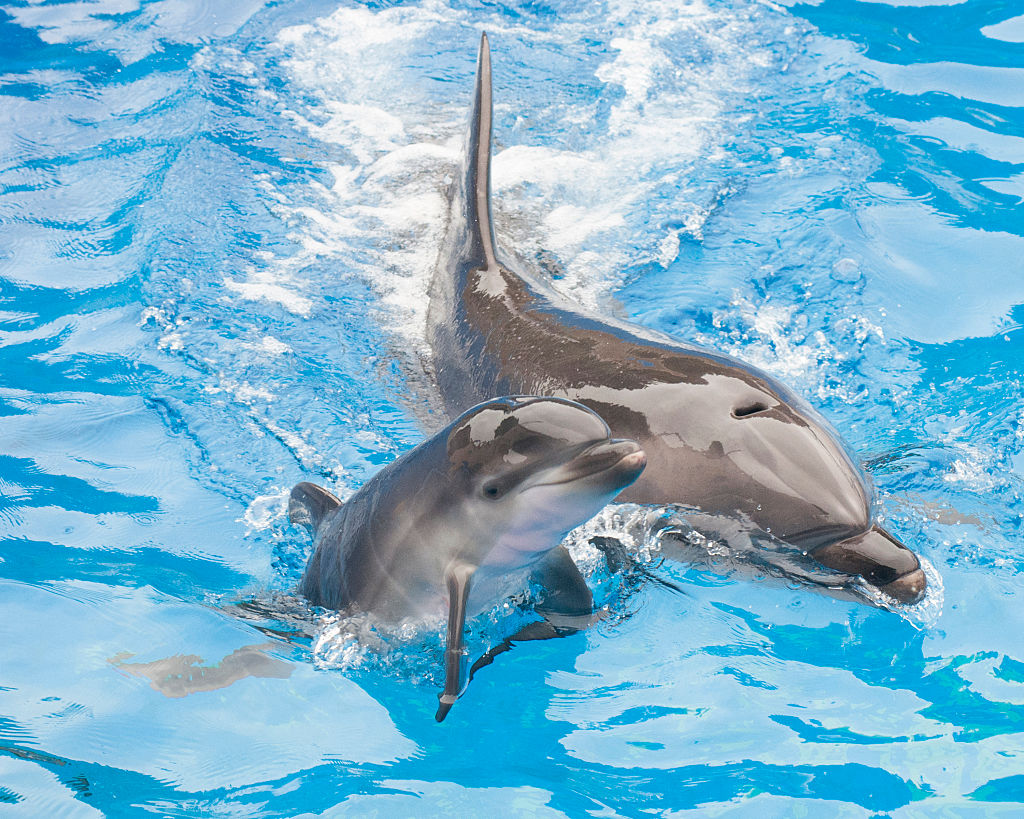 SAN DIEGO, CA - OCTOBER 20: In this handout photo provided by SeaWorld San Diego, Sadie, a 13-year-old bottlenose dolphin at SeaWorld San Diego, swims with her newborn calf at the marine park's Dolphin Stadium October 20, 2014 in San Diego, California. The calf, born on Saturday, Oct. 18 at 3:32 p.m., is strong and appears to be in good health. She is nursing regularly and continues to bond with its mother. This is the 80th bottlenose dolphin born at SeaWorld San Diego.