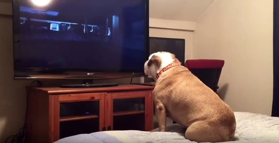 khaleesi the bulldog watches the conjuring
