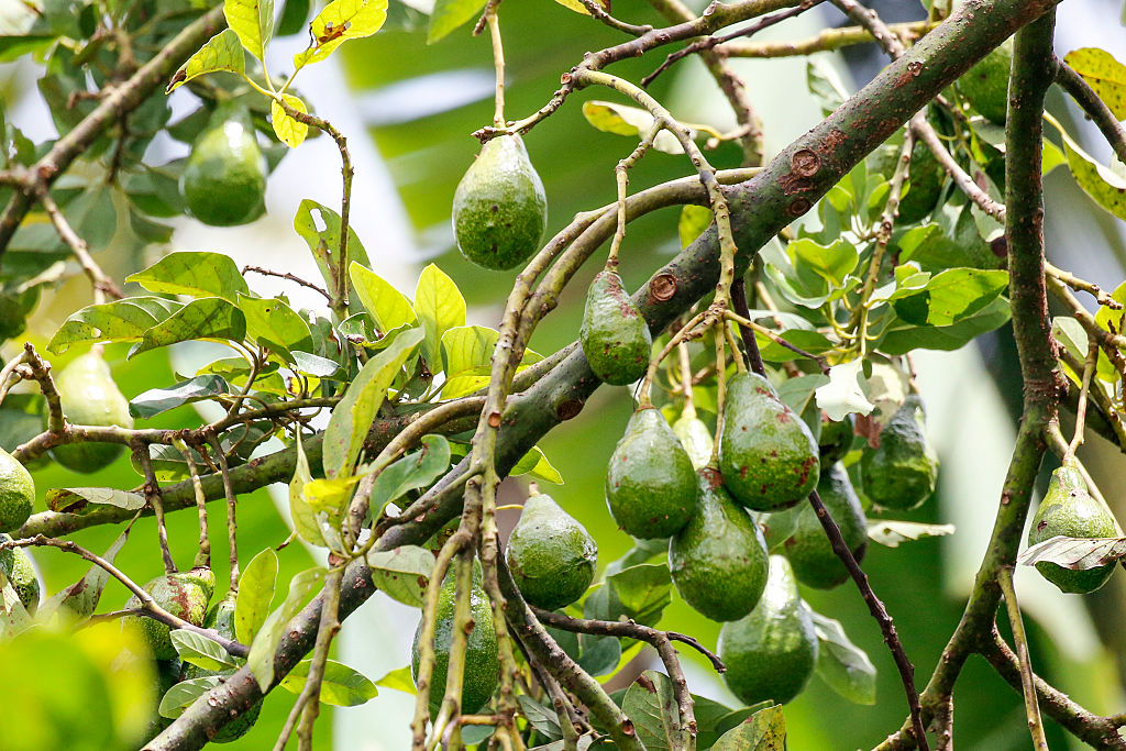 TEGALLALANG, BALI, INDONESIA - JANUARY 03: A avocado tree inside the Pulina Coffee Plantation on January 03, 2016 in Tegallalang, Bali, Indonesia. (Photo by Isa Foltin/Getty Images)