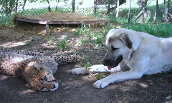 Cheetah with a support dog for anxiety.