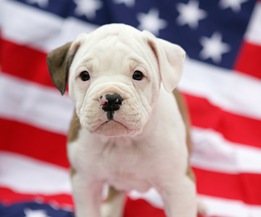 4th of July pet