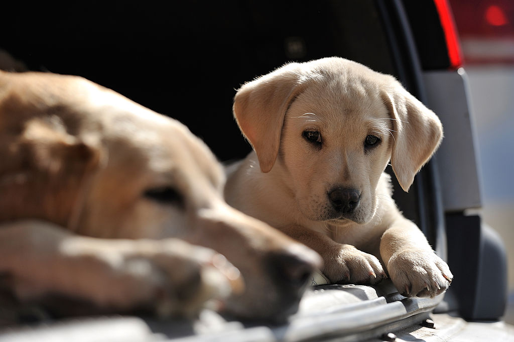 Portrait of a Labrador Retriever puppy and mother resting in the boot of a car, taken on March 29, 2012.