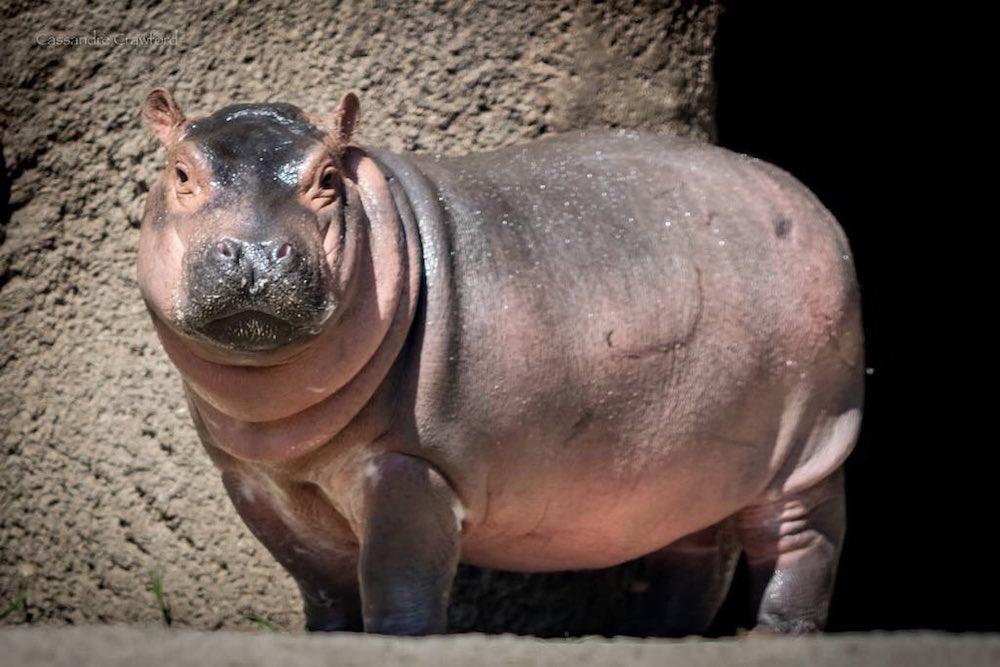 Fiona the baby hippo from the Cincinnati Zoo
