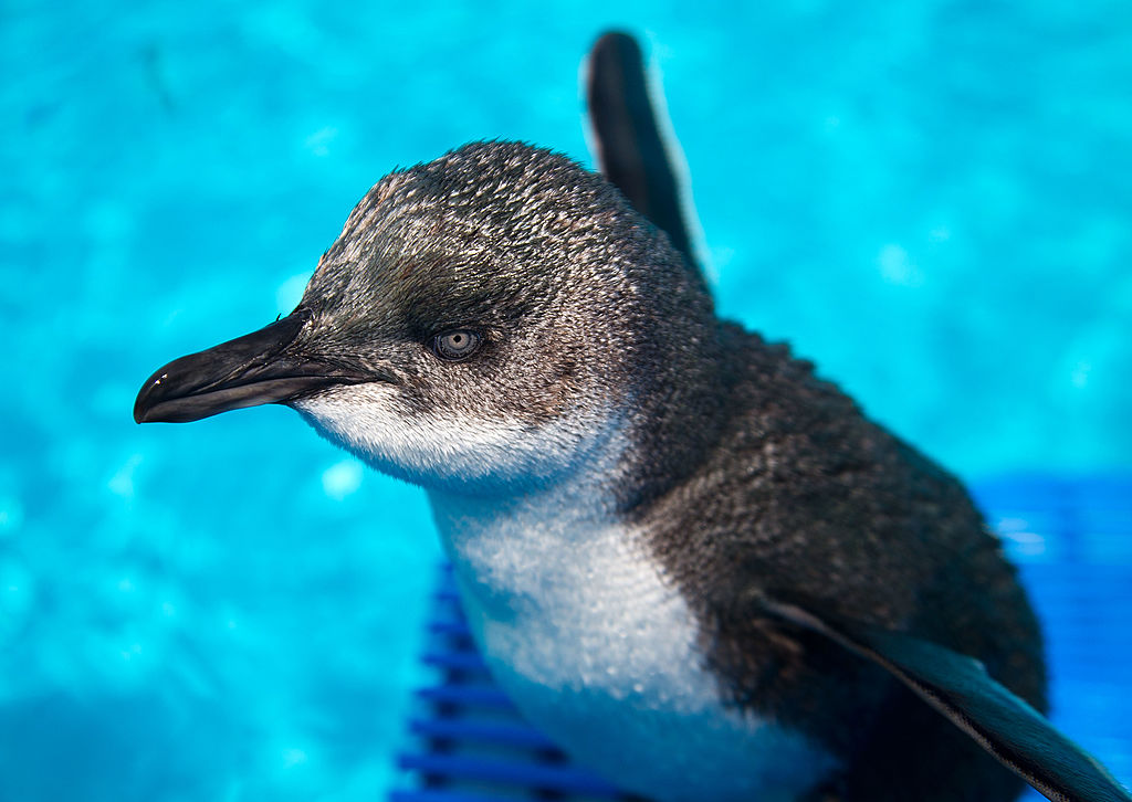 Rescued blue penguins swim at a wildlife facility