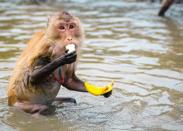 Portrait Of Monkey Eating Banana In River