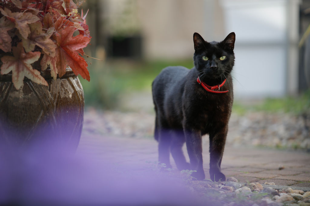 black-cat-wearing-red-collar