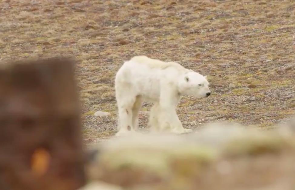 A starving polar bear caught on camera