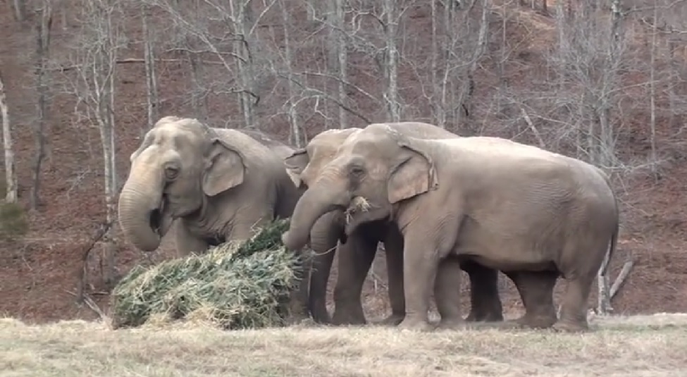 elephants-eating-recycled-christmas-trees