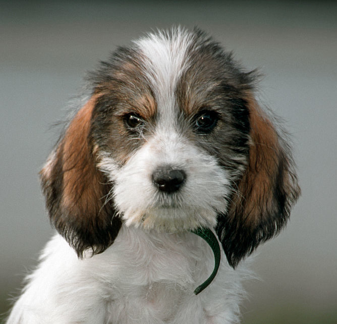 Cute Grand Basset Griffon Vendeen pup