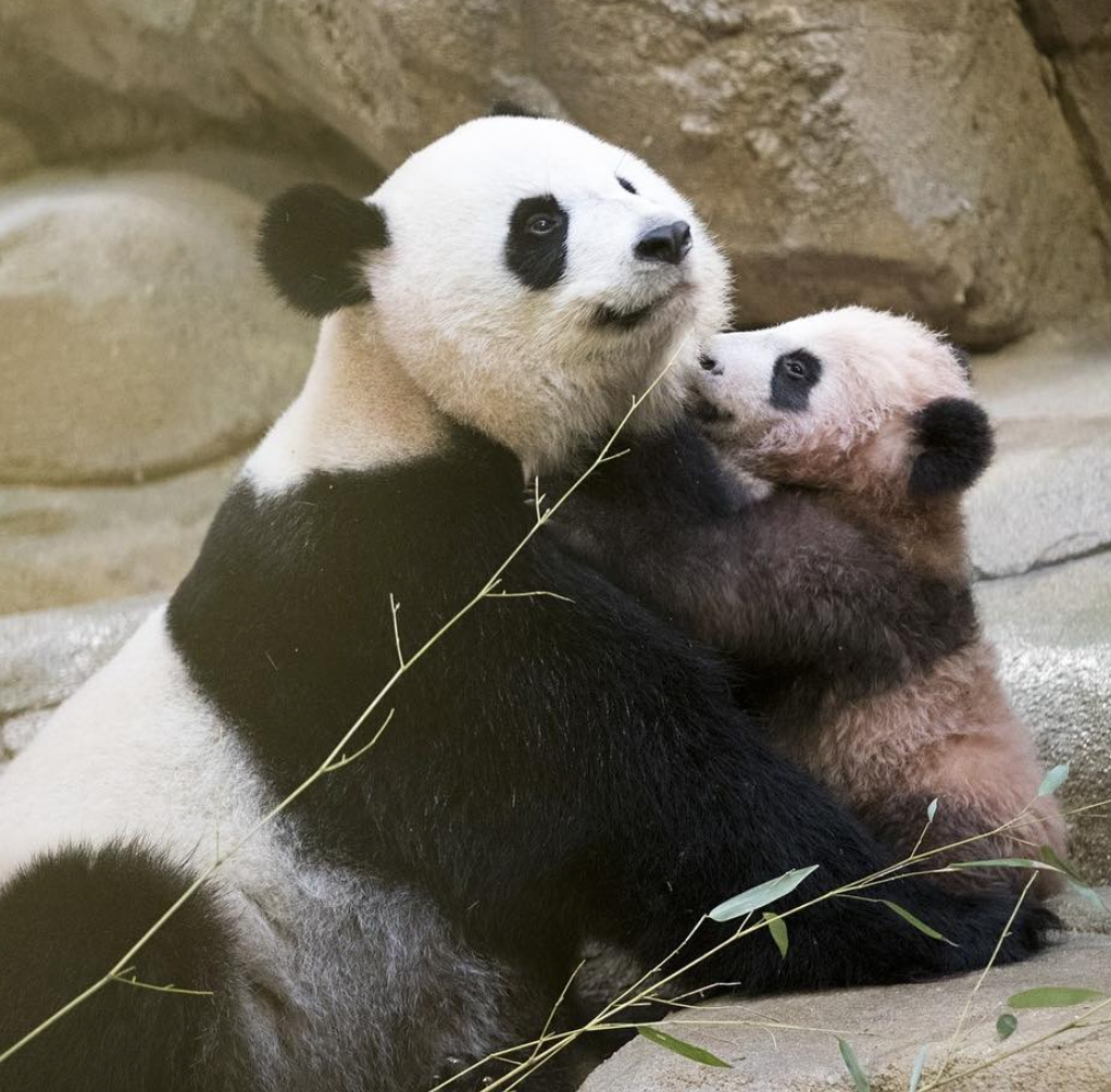 Picture of Baby Panda Zoo
