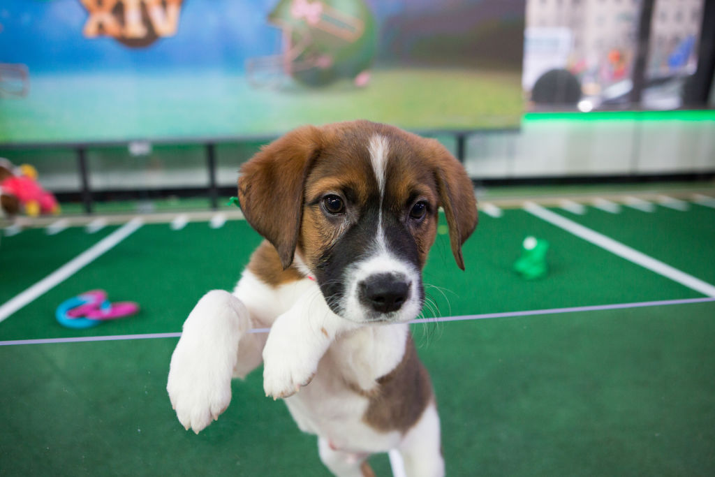 Picture of Puppy Bowl Pre-Game Show