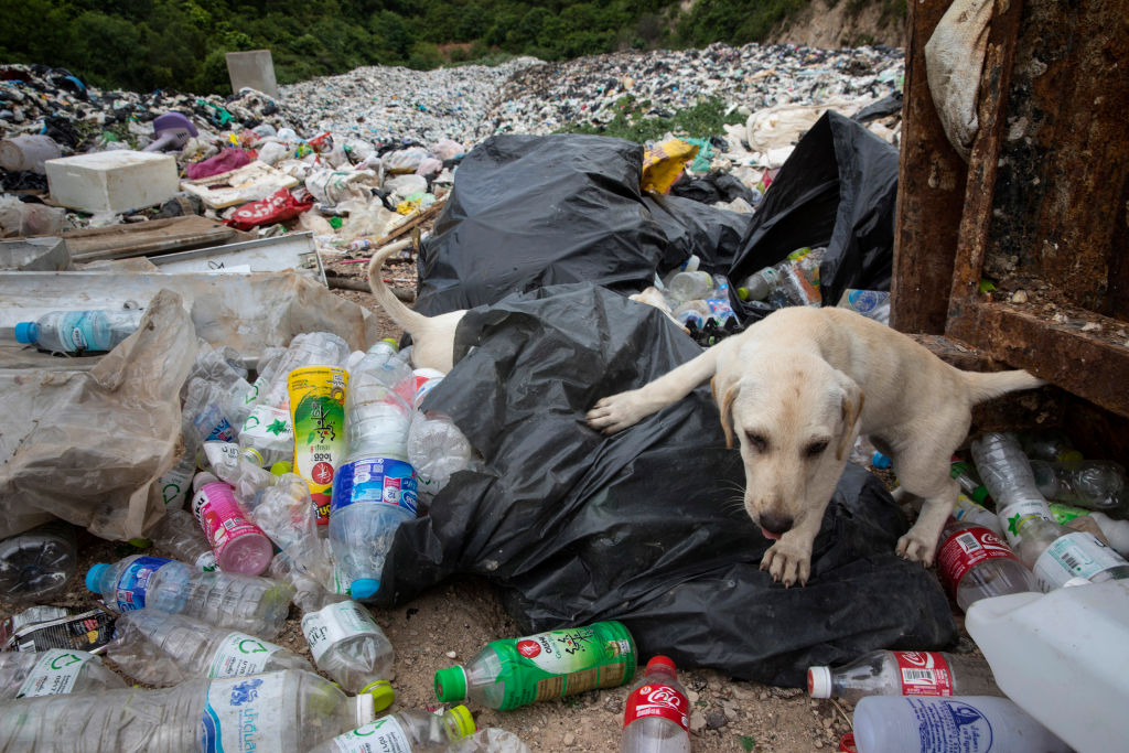 PATTAYA, THAILAND - JULY 30: Dogs scavenge at a landfill on the island of Koh Larn on July 30, 2017 in Pattaya,Thailand. Koh Larn which lies just off the coast of Pattaya attracts thousands of tourists a day which stresses the island's infrastructure, along with its waste-management system. A University study is currently underway that looks at the relationship between the number of tourists and the impact on the environment in order to determine the ideal number of daily visitors. Most plastic items, like packaging, tend to be used for very short periods before being discarded. According to a recent published study, Thailand along with China, Indonesia, the Philippines and Vietnam are on the list of the world's top-five plastic polluters. Cleaning up plastic pollution in Thailand is a challenge due to cultural, infrastructure and environmental obstacles. (Photo by Paula Bronstein/Getty Images)