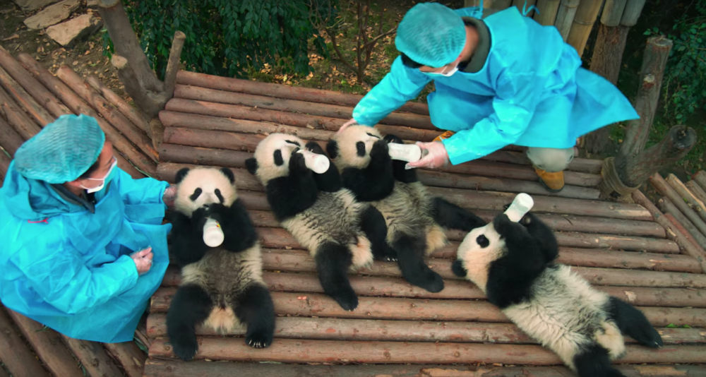 Pandas Kristen Bell