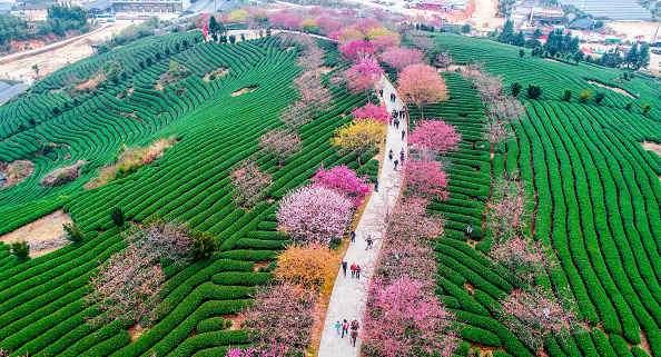cherries-fujian.jpg