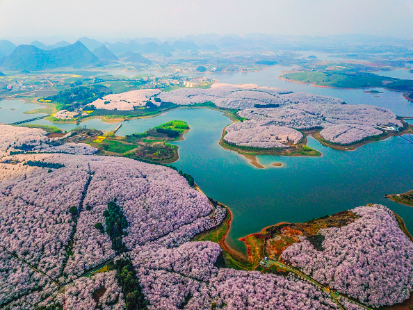 A view of cherry blossoms seen from above.